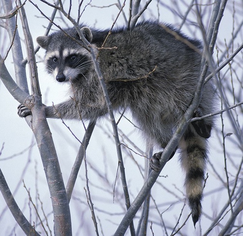 800px-Raccoon_climbing_in_tree_clipped